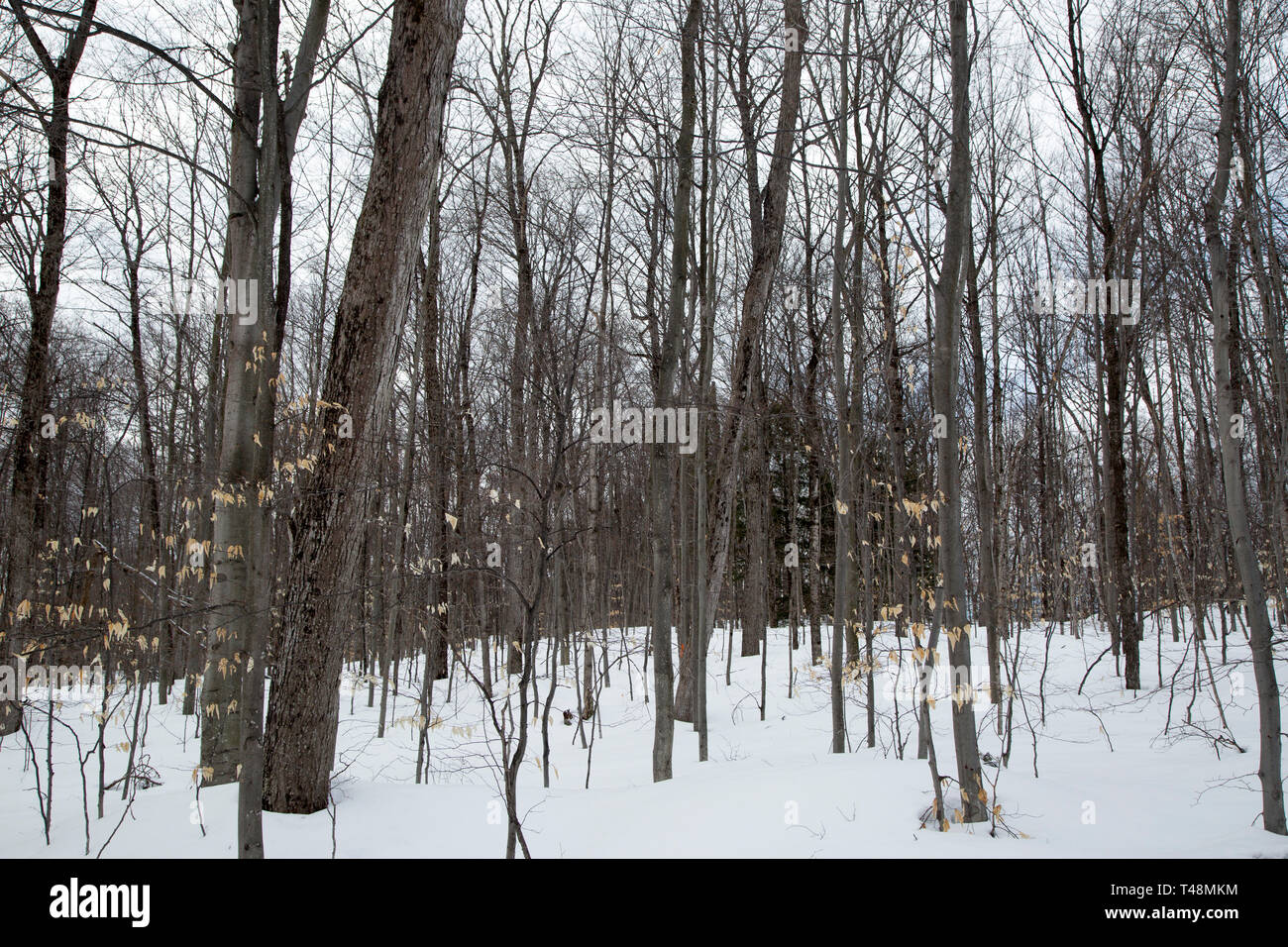 Forest surrounding a country lane in Seguin County, Muskoka, Ontario, in winter with fresh snow on the ground. - Stock Image