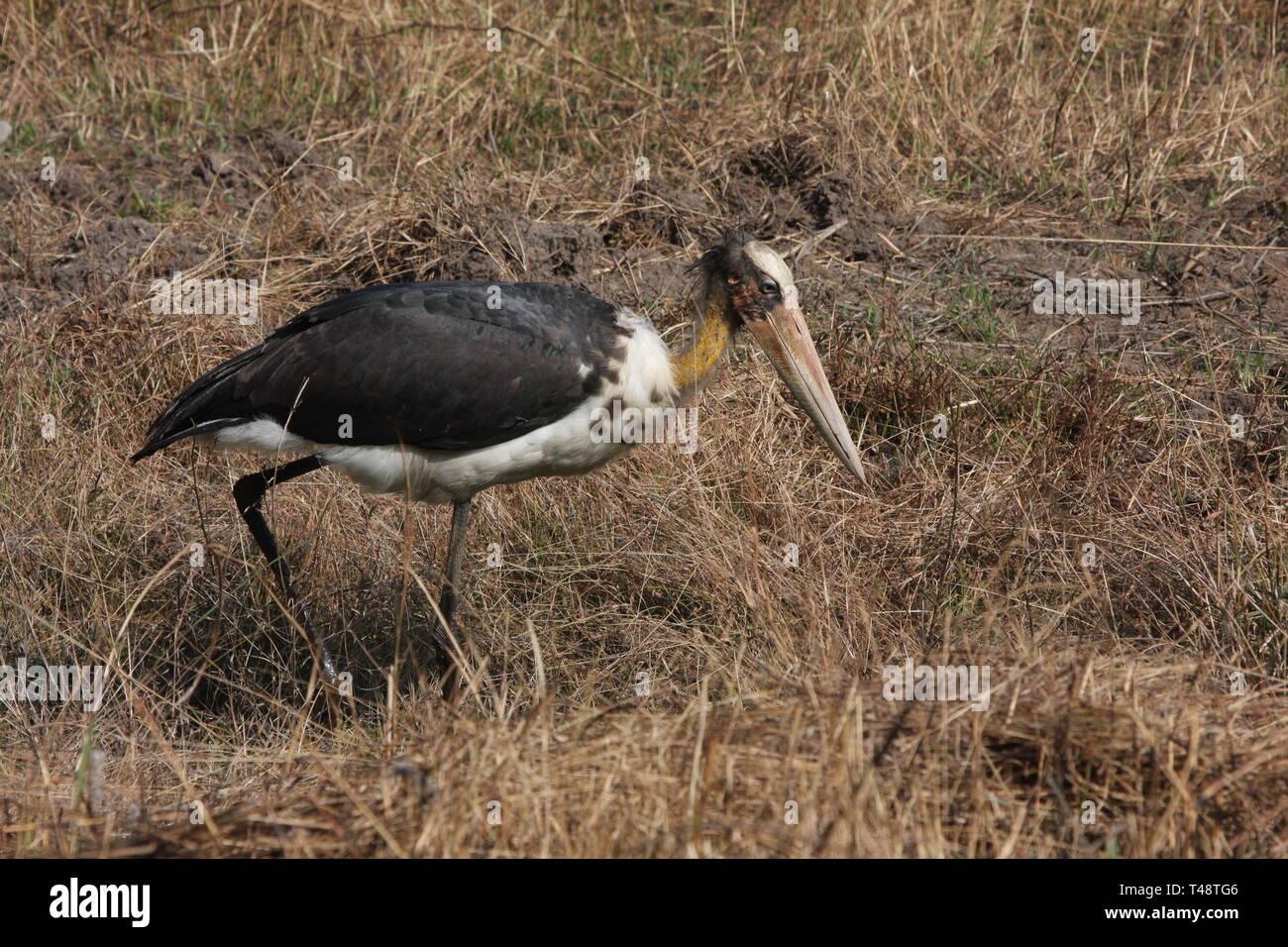 Lesser Adjutant Stork, Bandhavgarh National Park, Madhya Pradesh - Stock Image
