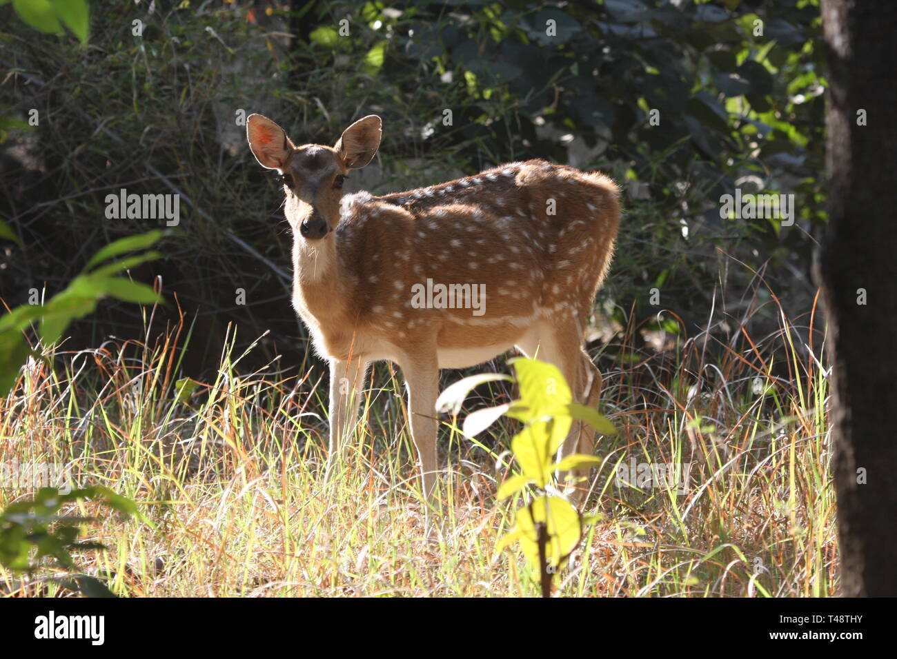 Spotted deer or Chital, Bandhavgarh National Park, Madhya Pradesh - Stock Image