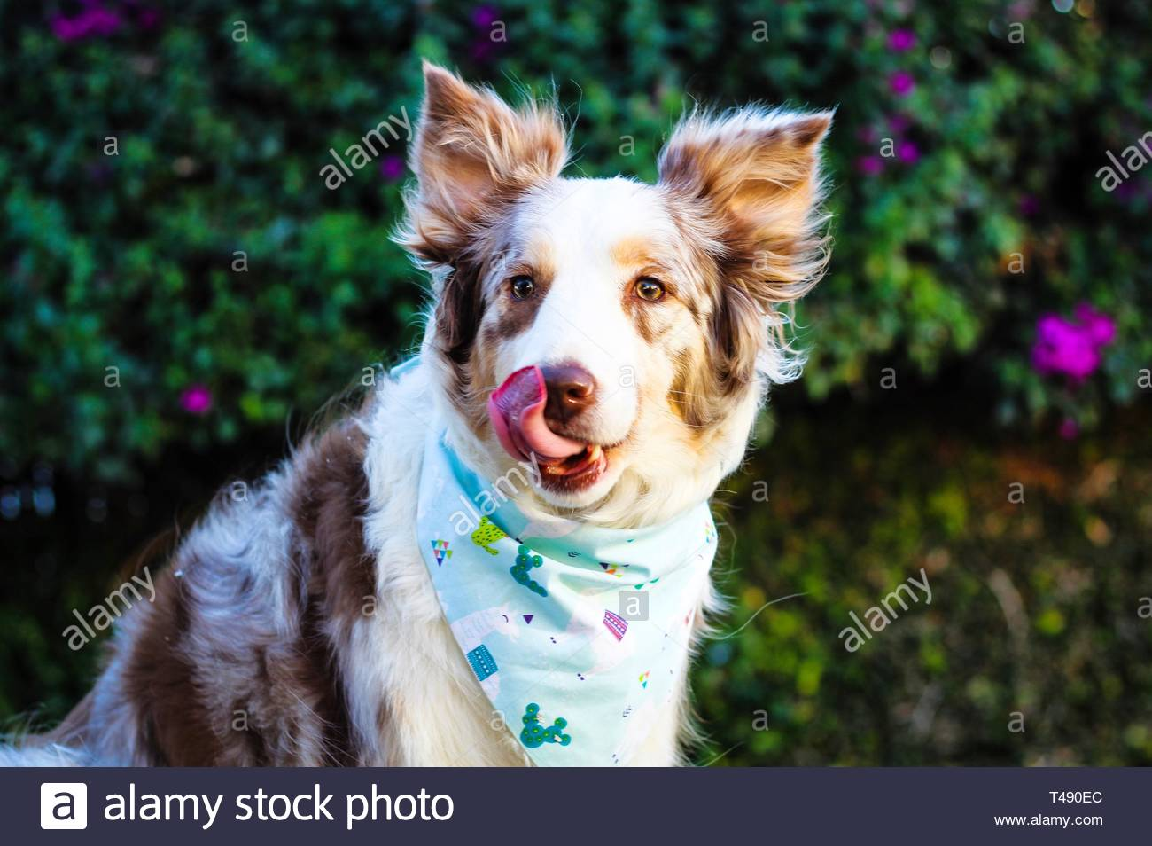 Dog Licking Nose Stock Photos & Dog Licking Nose Stock