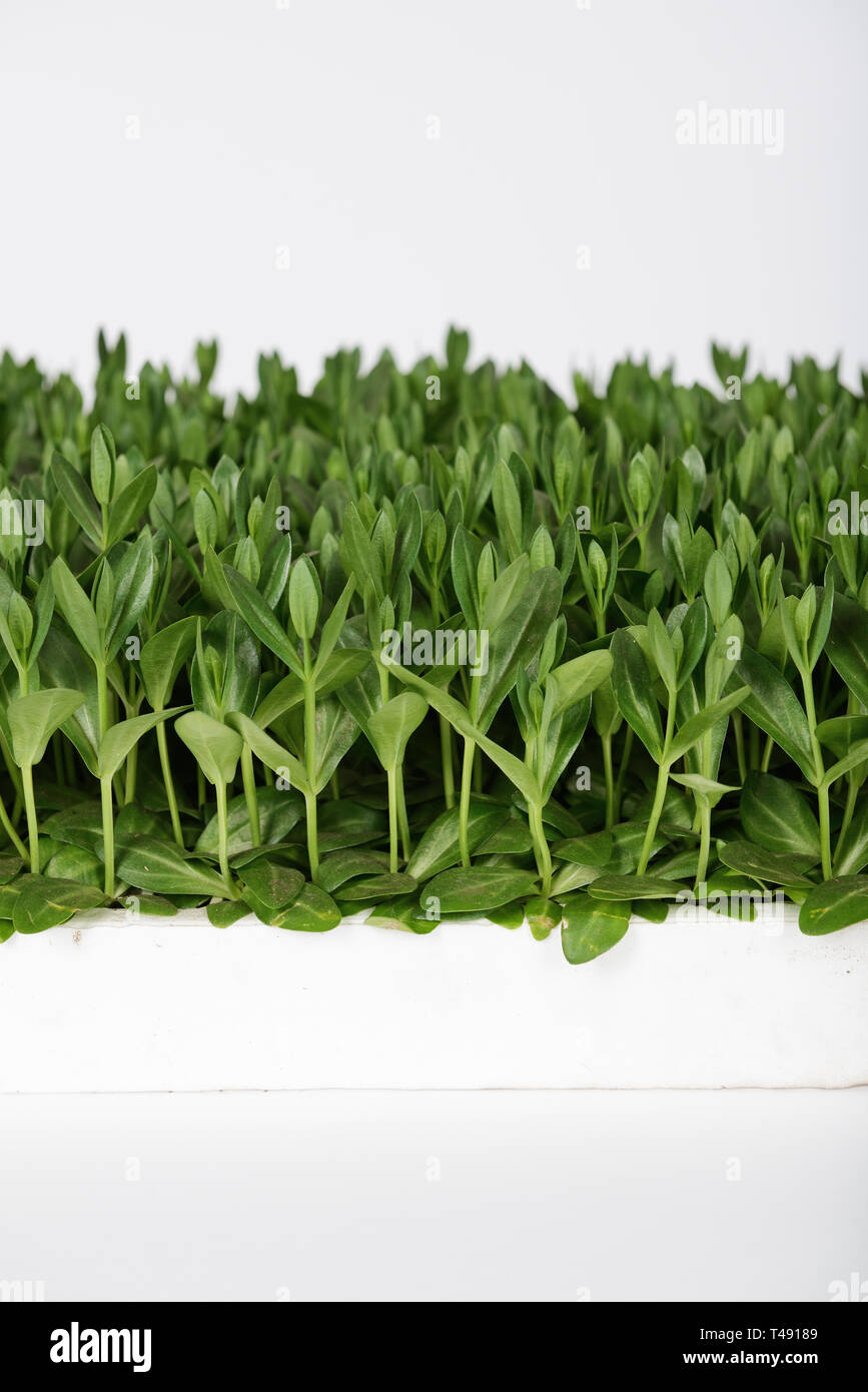 Lisianthus (Eustoma Grandiflorum) seedlings plants for professinal cut flowers production in greenhouse - Stock Image