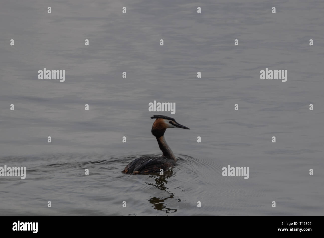A single great crested Grebe on water - Stock Image