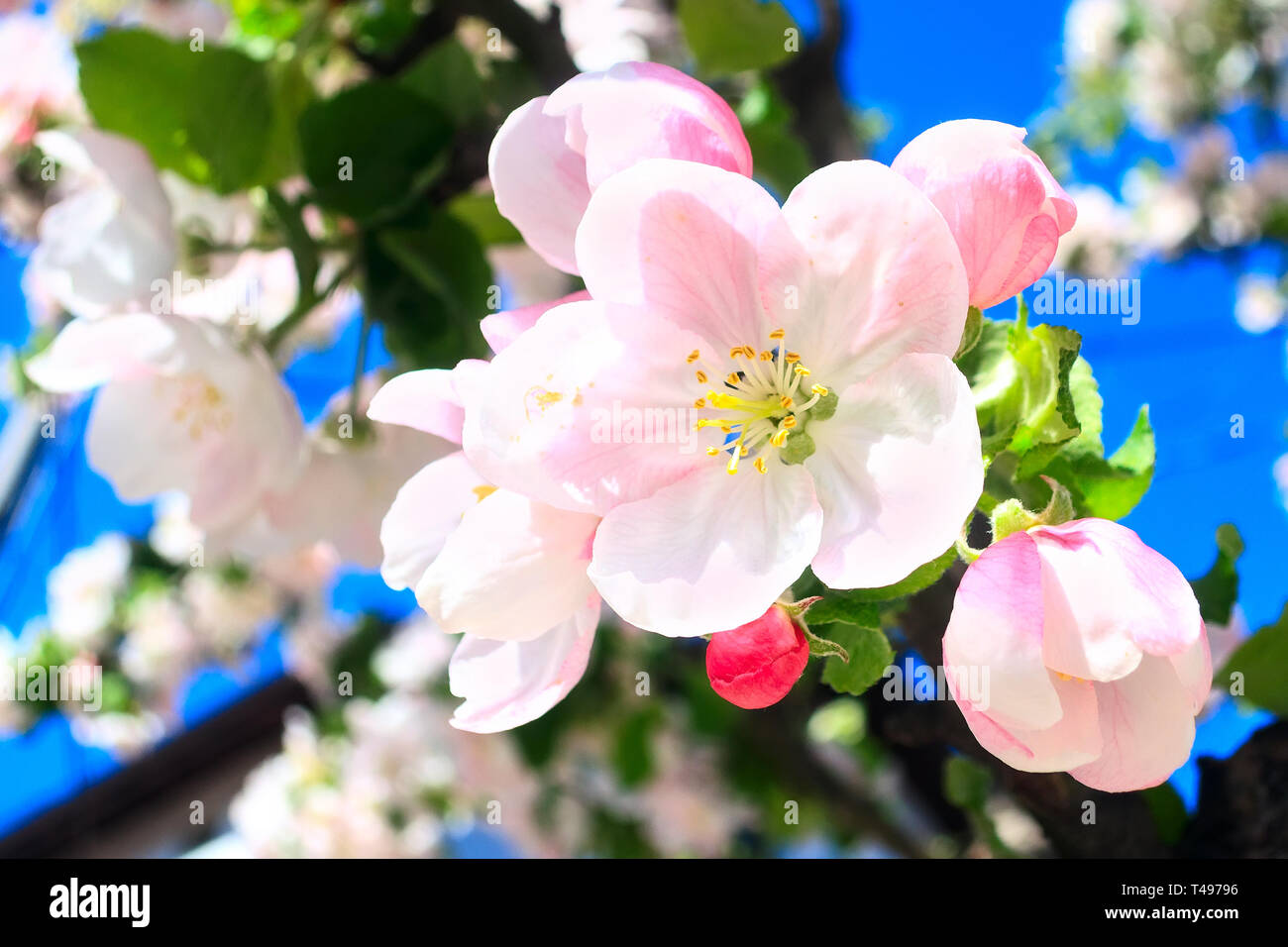 The branch of white and pink apple flower blossom spring background, close-up macro Stock Photo