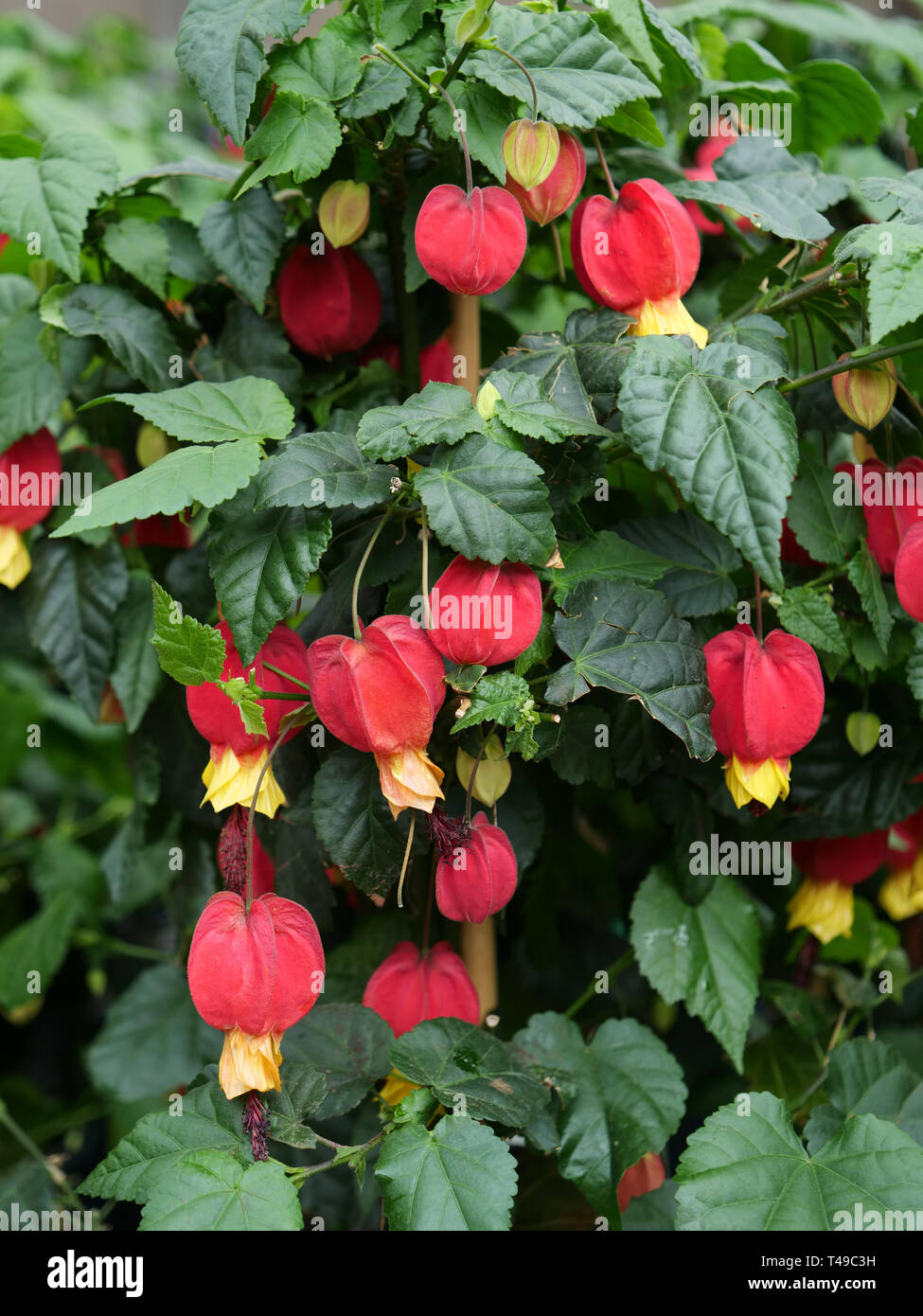 Abutilon is a summer flowering garden plant mainly for patios or very sheltered positions in the garden in temperate climates. - Stock Image