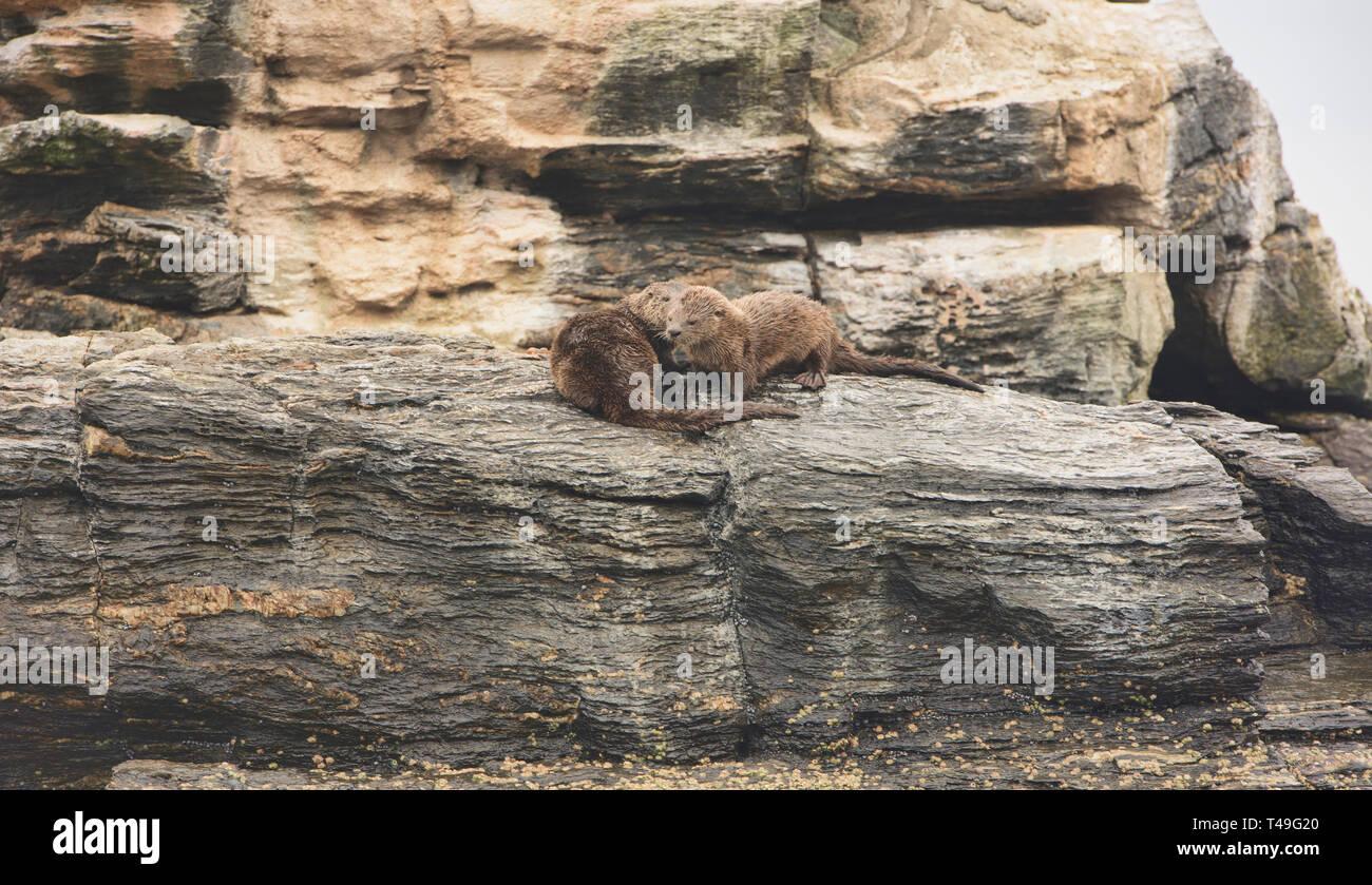 Marine otter (Lontra felina) on Isla Choros, Humboldt Penguin Reserve, Punta Choros, Chile - Stock Image