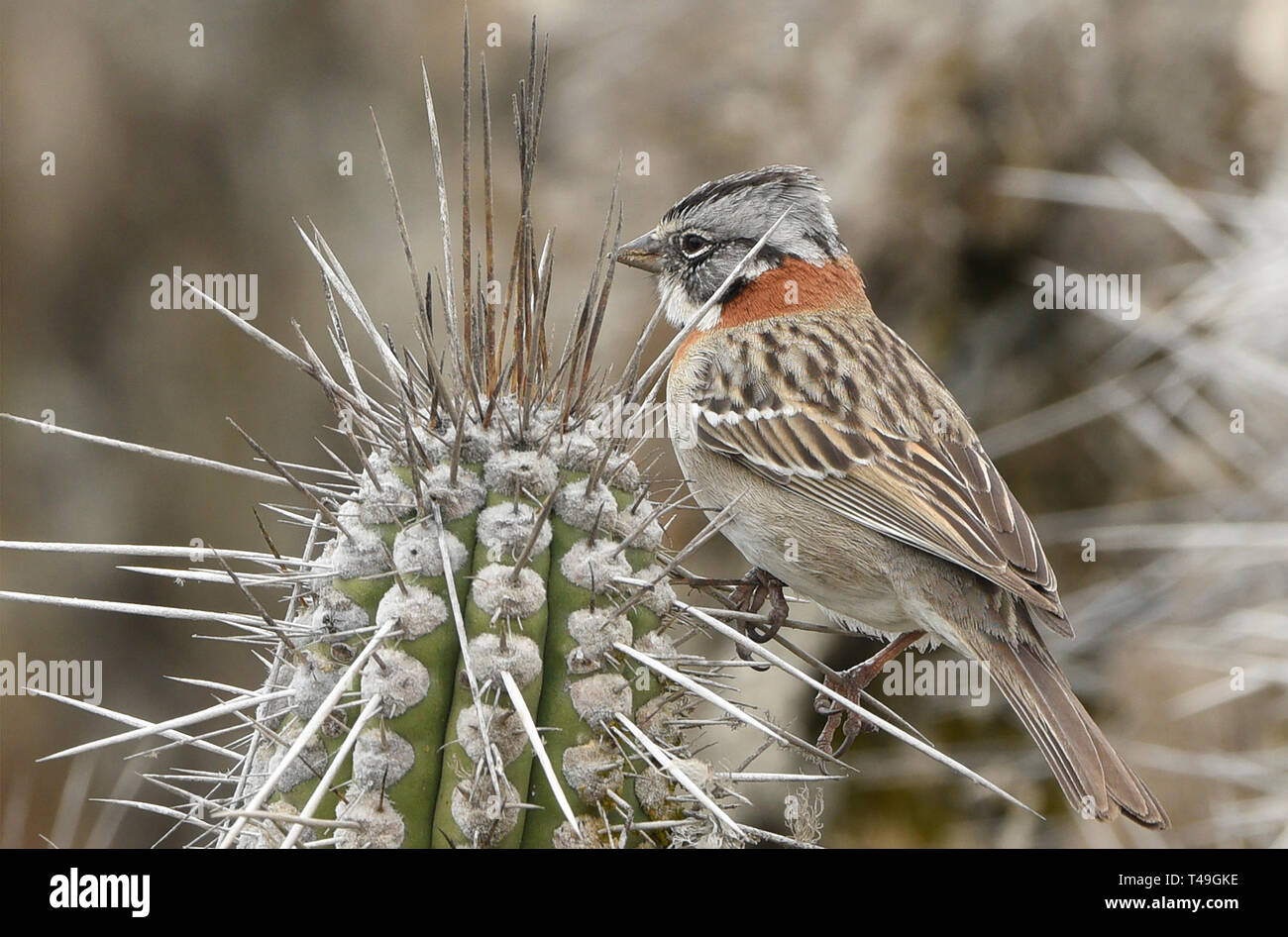Andean sparrow (rufous-collared sparrow) on Isla Damas, Humboldt Penguin Reserve, Punta Choros, Chile - Stock Image