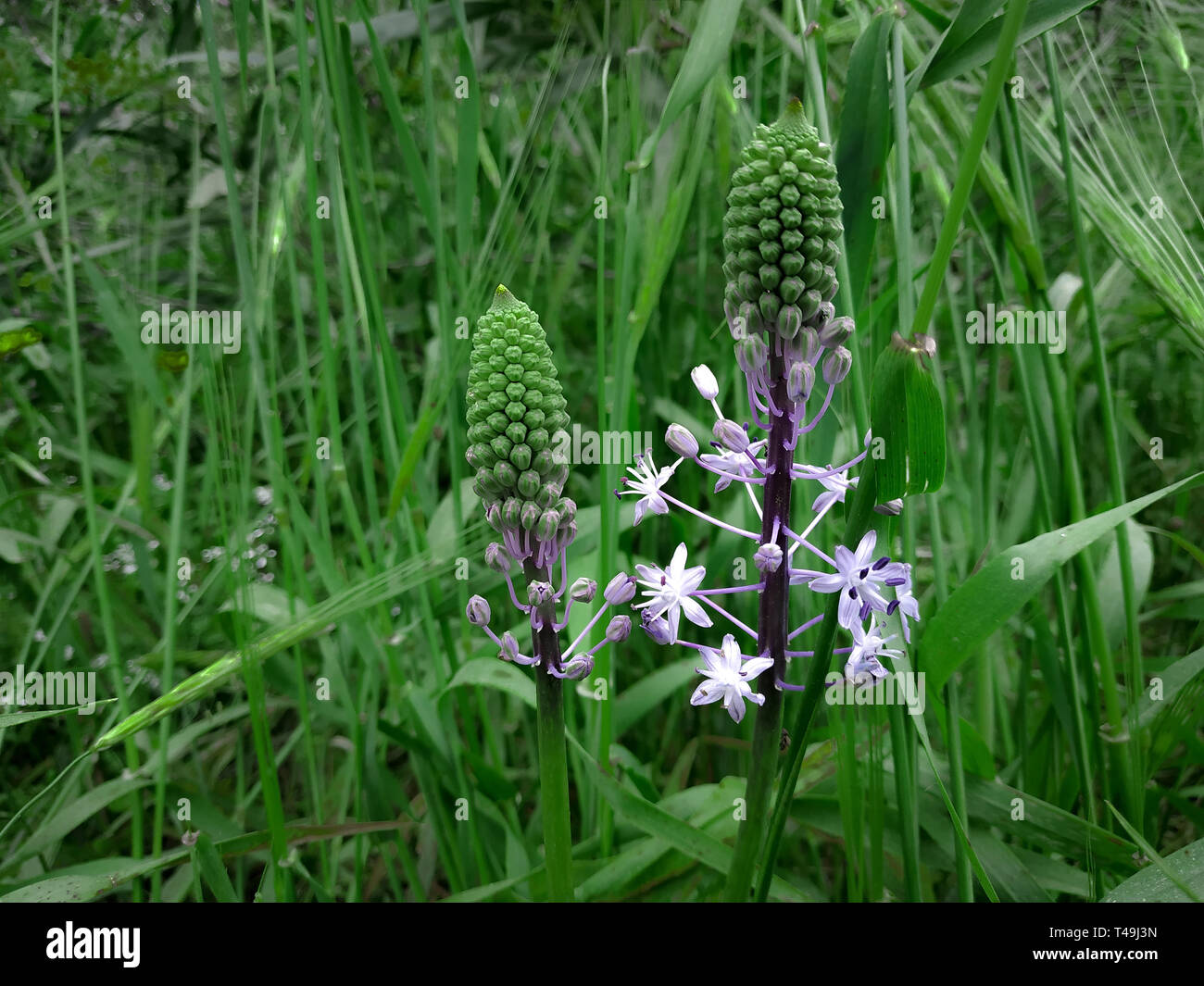 Hyacinth Squill light purple blooming flowers. Green grass landscape background. Wildflower nature field in Israel hights. Sunny weather, forest plant Stock Photo