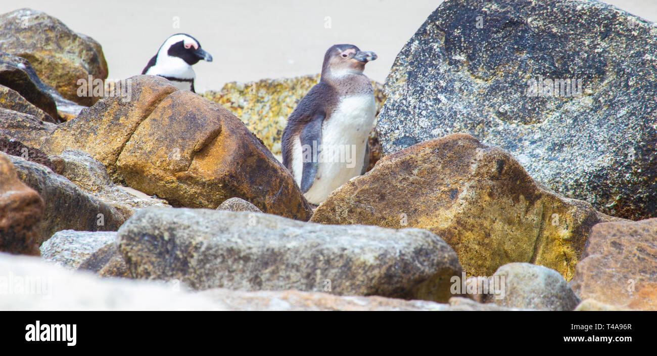 Chick Penguin - Stock Image