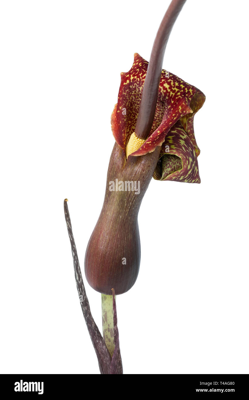 Voodoo lily flower isolated on white background - Stock Image