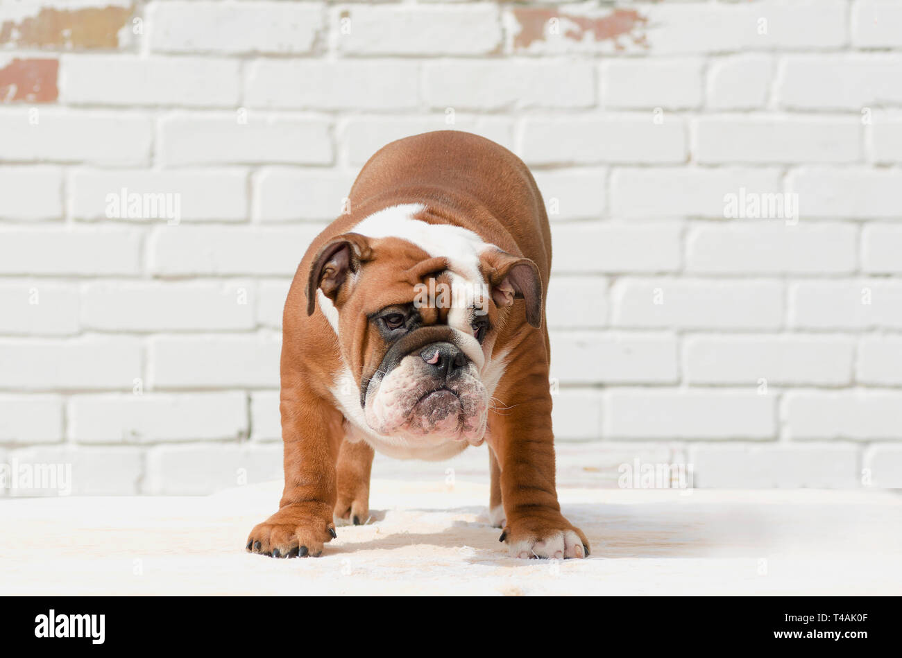 Cute English Bulldog Puppy High Resolution Stock Photography And Images Alamy