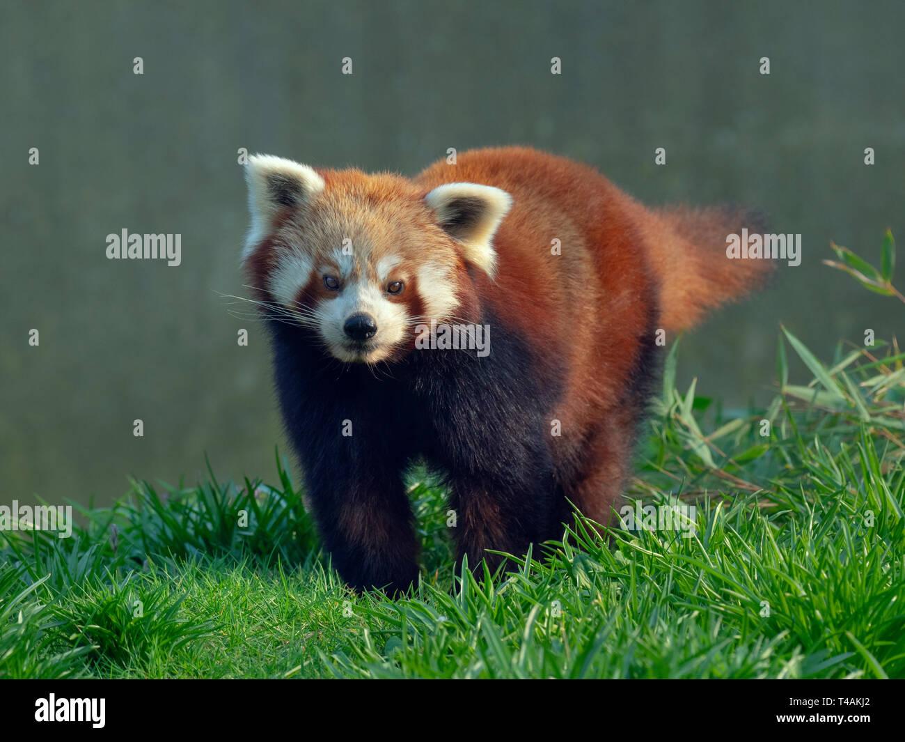 Red panda Ailurus fulgens  feeding on bamboo leaves captive portrait - Stock Image