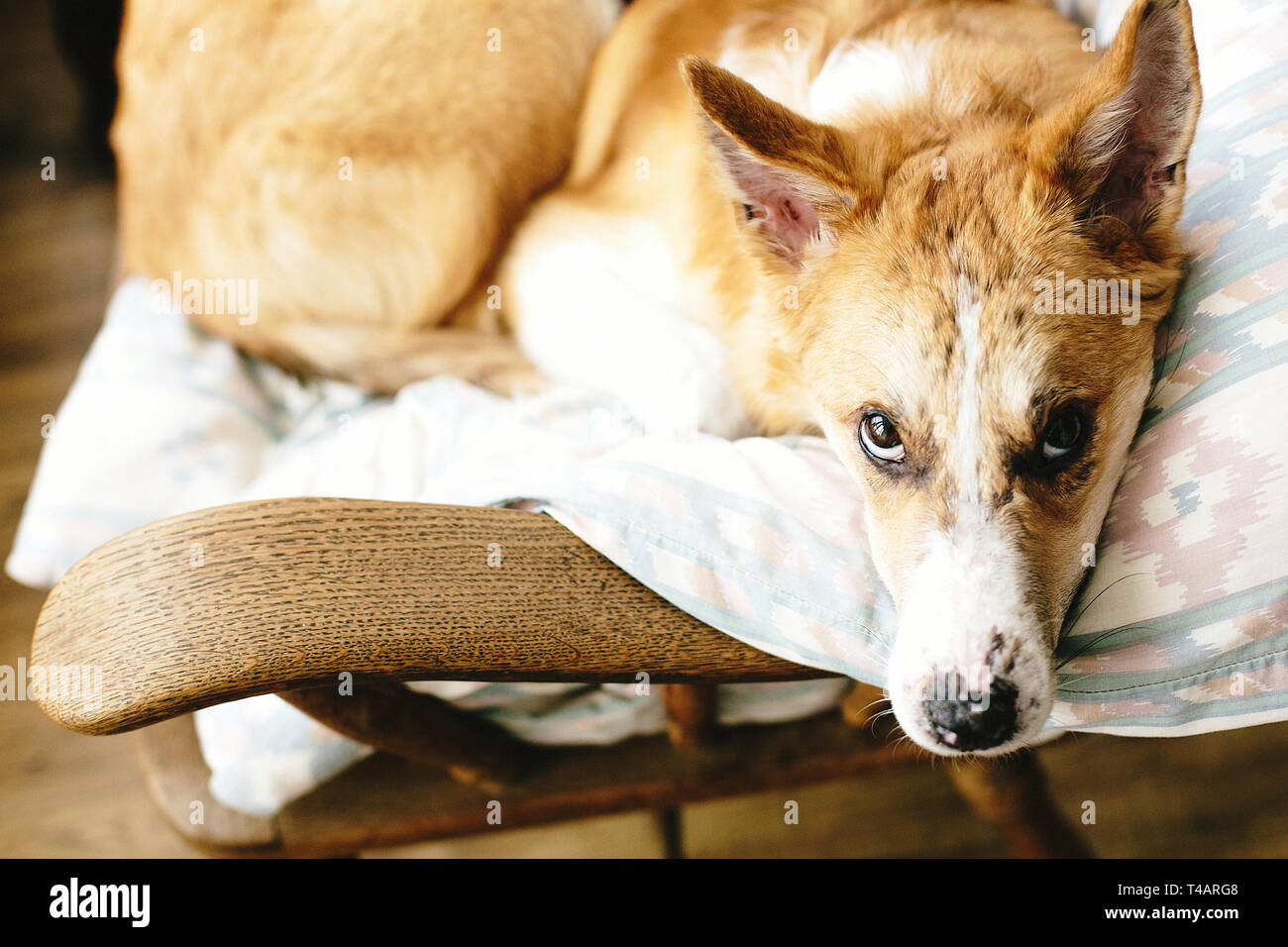 Cute golden dog resting in wooden chair at home. Doggy sleeping on cozy blanket in chair, funny moment. Comfortable place. Adoption concept - Stock Image