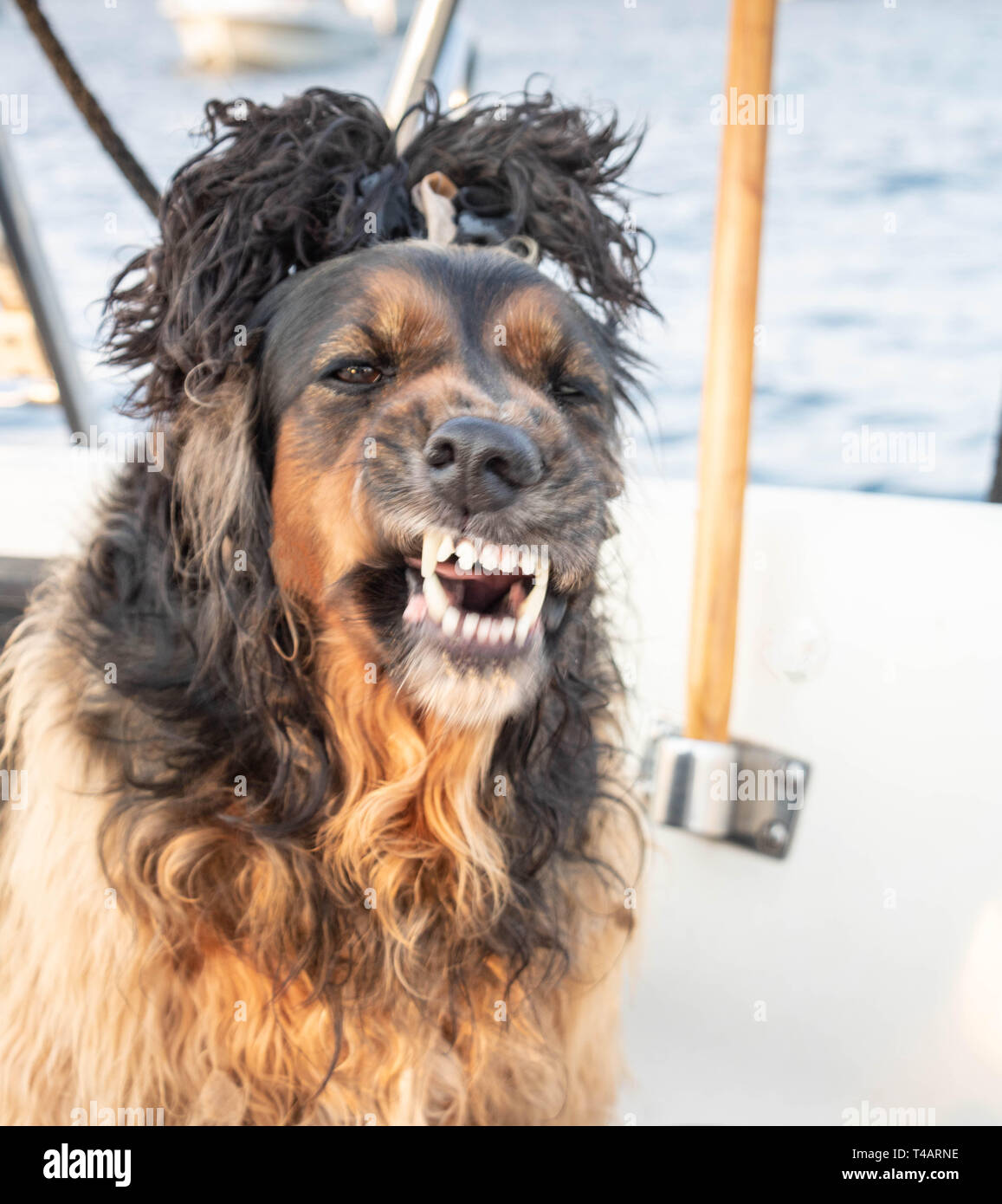 Cocker with a comic hairstyle on his head showing teeth to bite - Stock Image