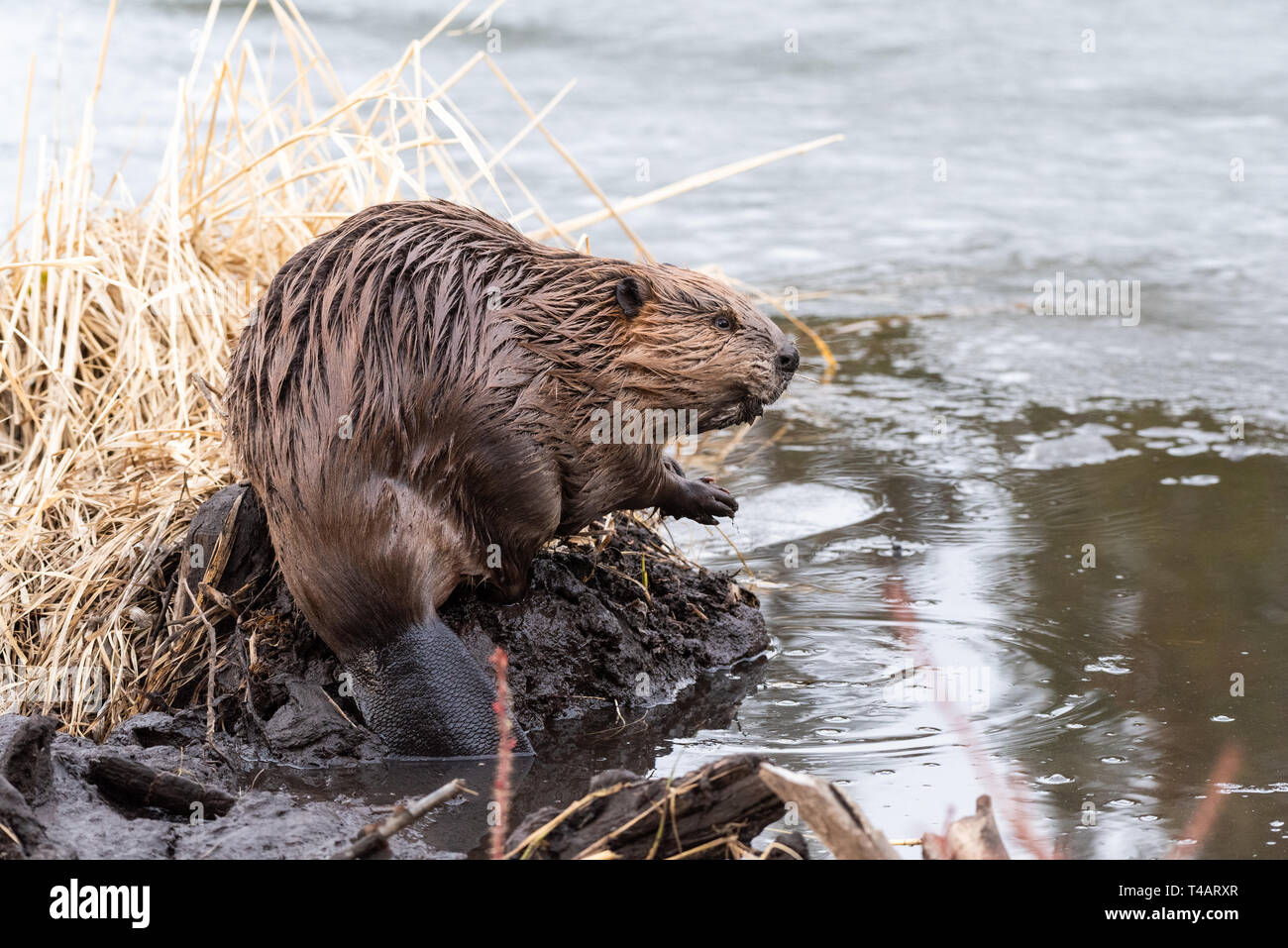 A young castor canadensis on the edge of the beaver dam looking Stock Photo