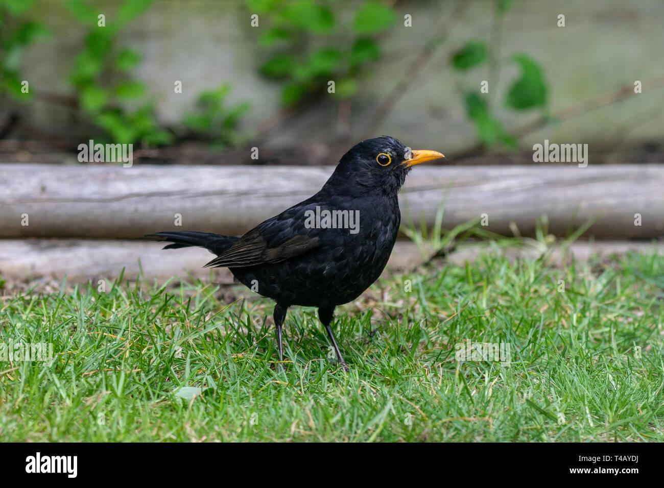 Male blackbird (turdus merula) Stock Photo