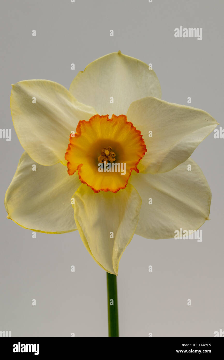Daffodil flower (Narcissus) Stock Photo