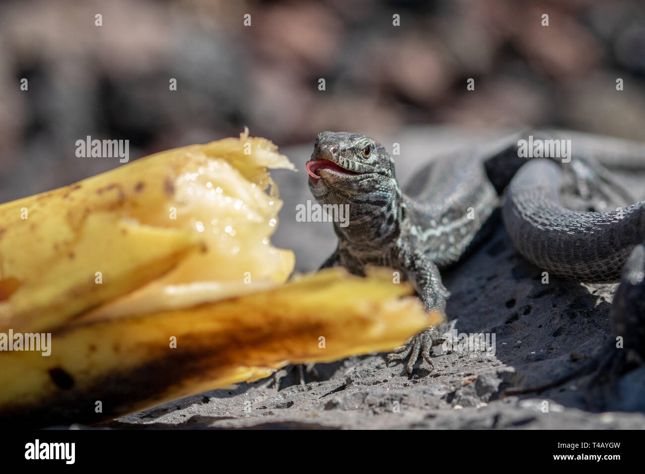 Wall lizard (gallotia galloti palmae) with a curling tongue eating a discarded banana with volcanic landscape rock in the background. La Palma Island, Stock Photo