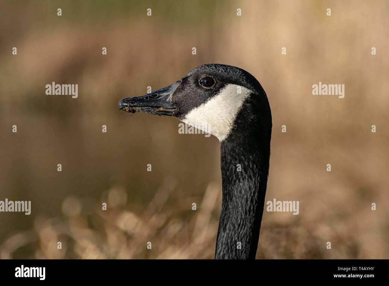 Portrait of Canada Goose (Branta canadensis) Stock Photo