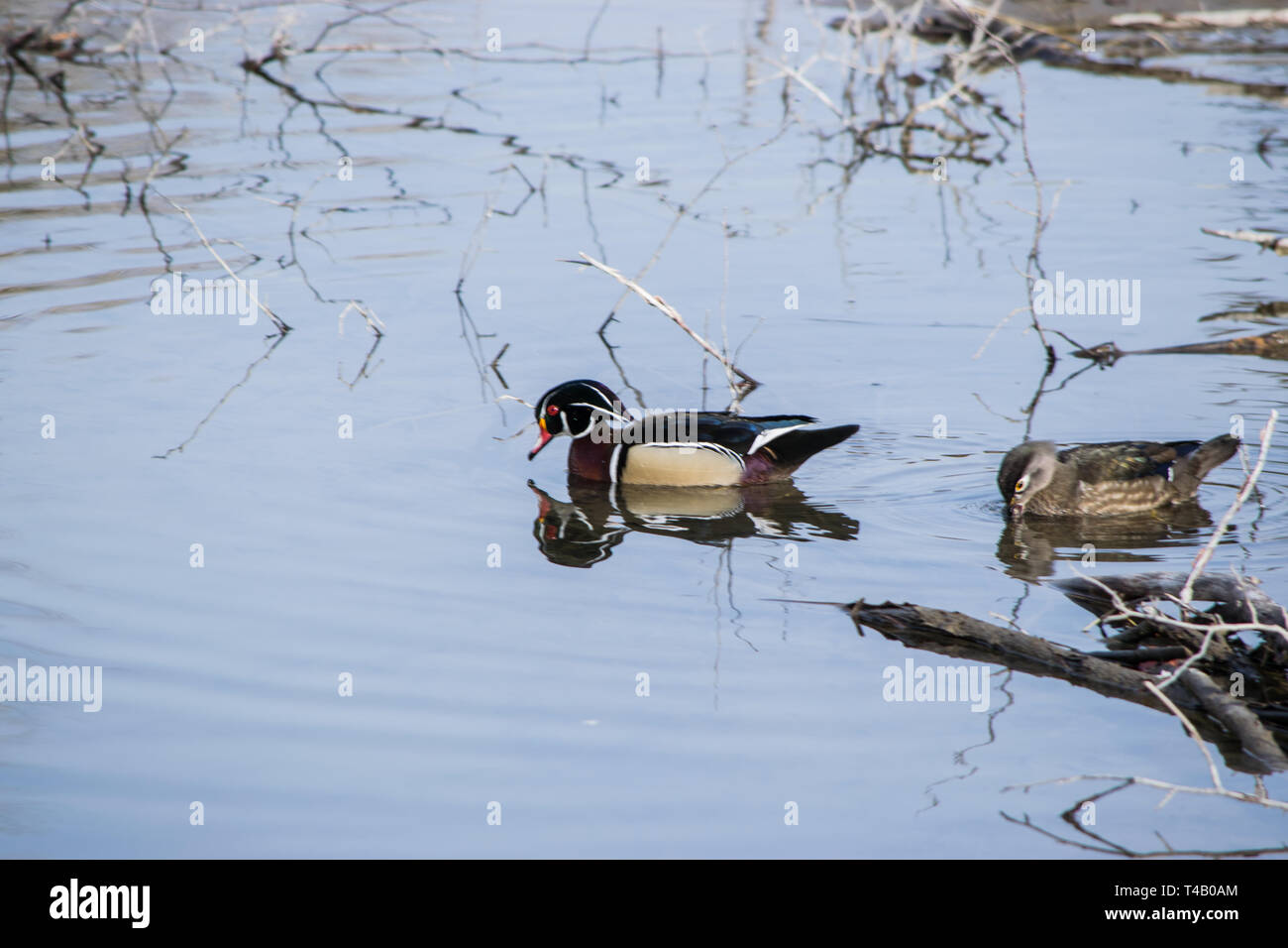 Wood Ducks in the Wild. - Stock Image