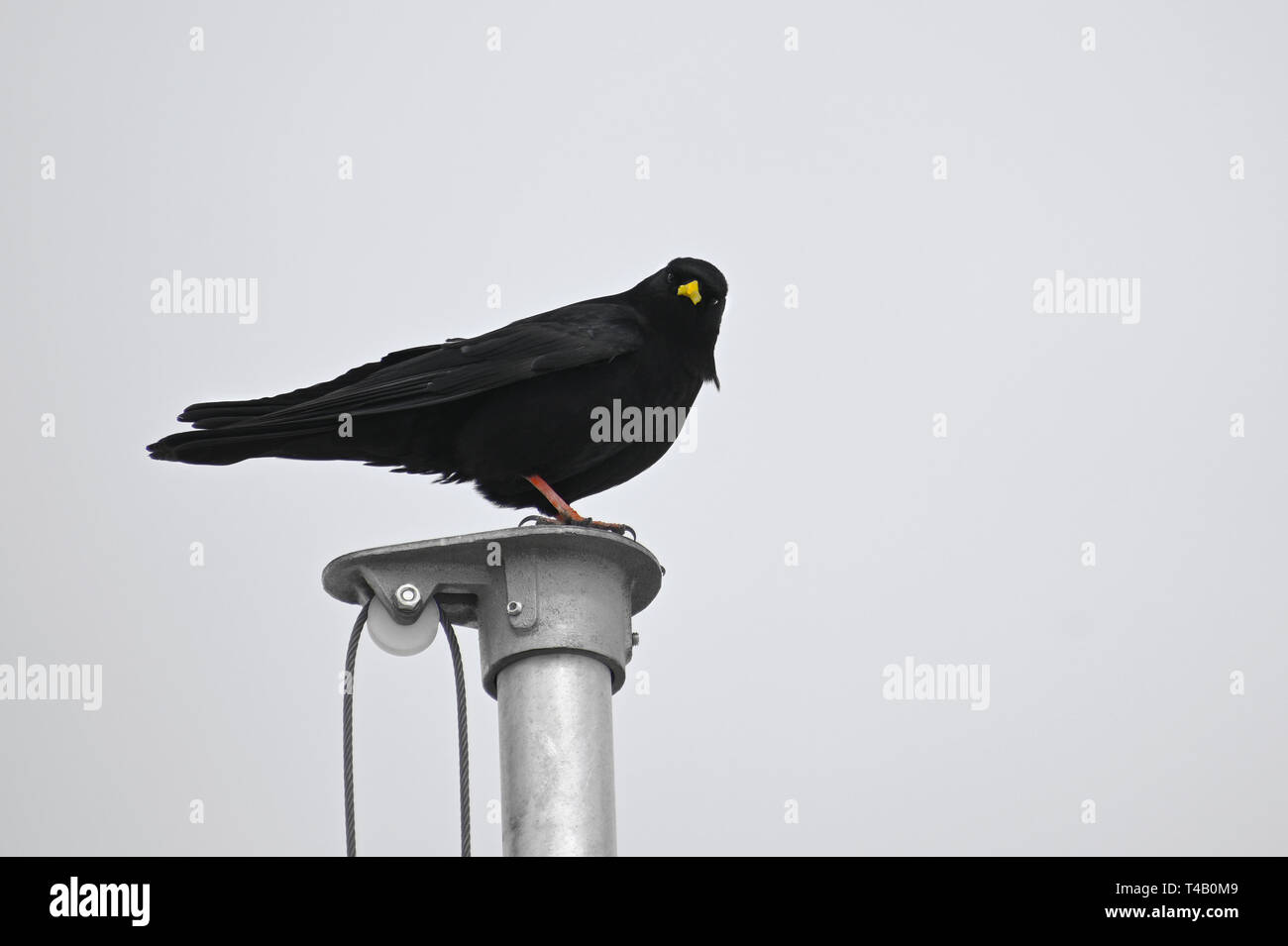 Alpine chough or yellow-billed chough (Pyrrhocorax graculus), a bird of the crow family on a flagpole against a light gray sky, copy space - Stock Image