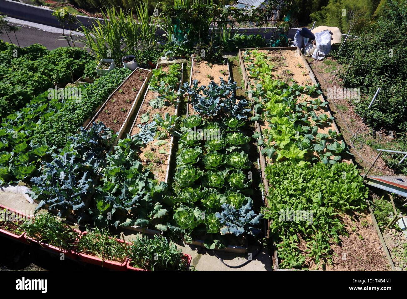 Generic Small Vegetable Garden In Taiwan Cabbage Cauliflower And