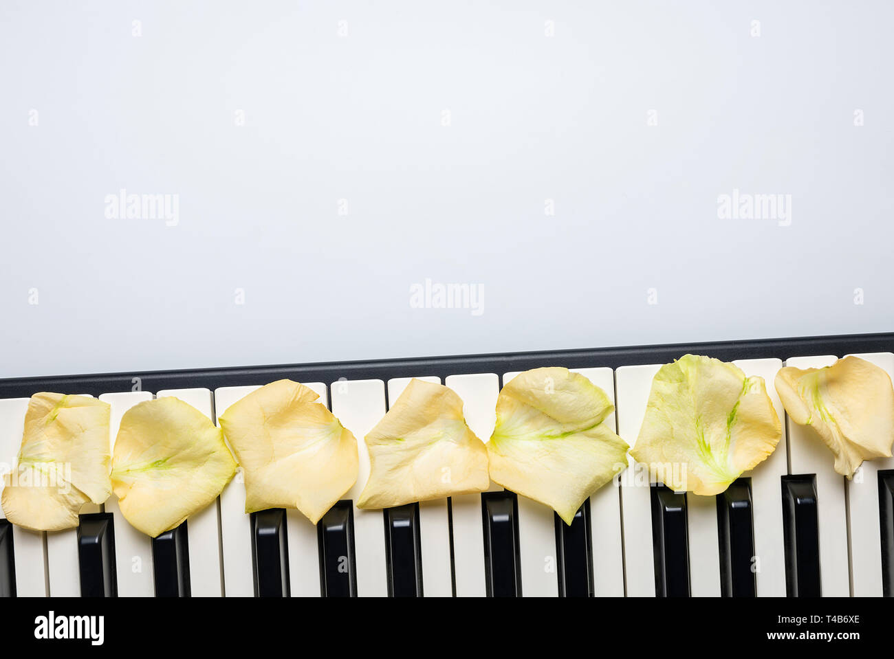 Piano keys with white rose flower petals, isolated, top view, copy space. Romantic concept. Piano or synthesizer keyboard. Classical music instrument  - Stock Image