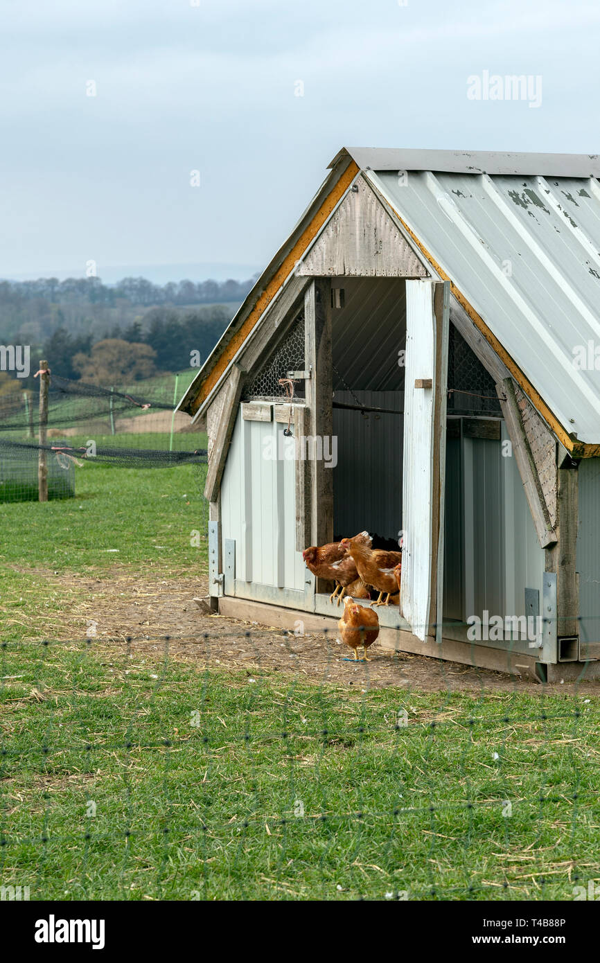 Chicken - Bird, Farm, Hen, Poultry, Livestock, Agriculture, Feeding, Animal, Chicken Coop, Free Range, Organic, Food, Meat, Vitality, Young Bird, Dome - Stock Image