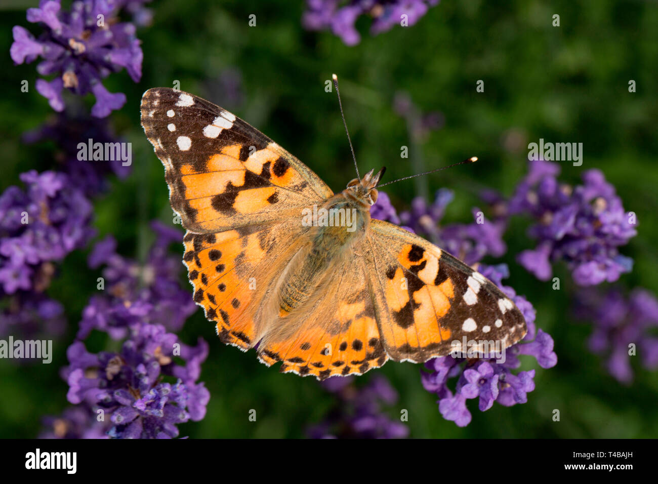 painted lady, (Vanessa cardui) Stock Photo