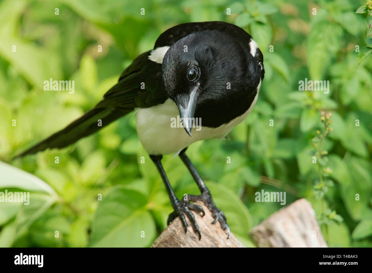 eurasian magpie, (Pica pica) - Stock Image