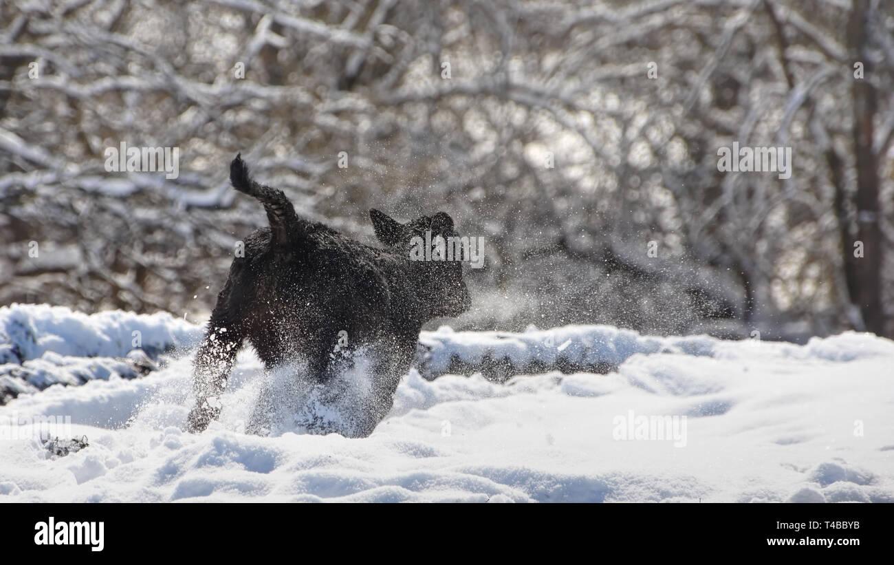 A spring calf prancing through a late snow in an Illinois farm. - Stock Image