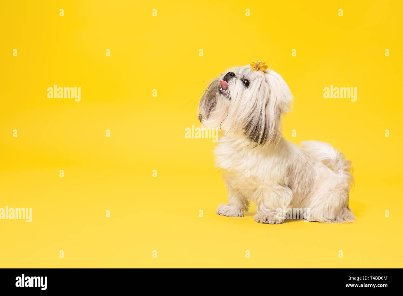 Shih Tzu Puppy Wearing Orange Bow Cute Doggy Or Pet Is Standing Isolated On Yellow Background The Chrysanthemum Dog Negative Space To Insert Your Text Or Image Stock Photo Alamy
