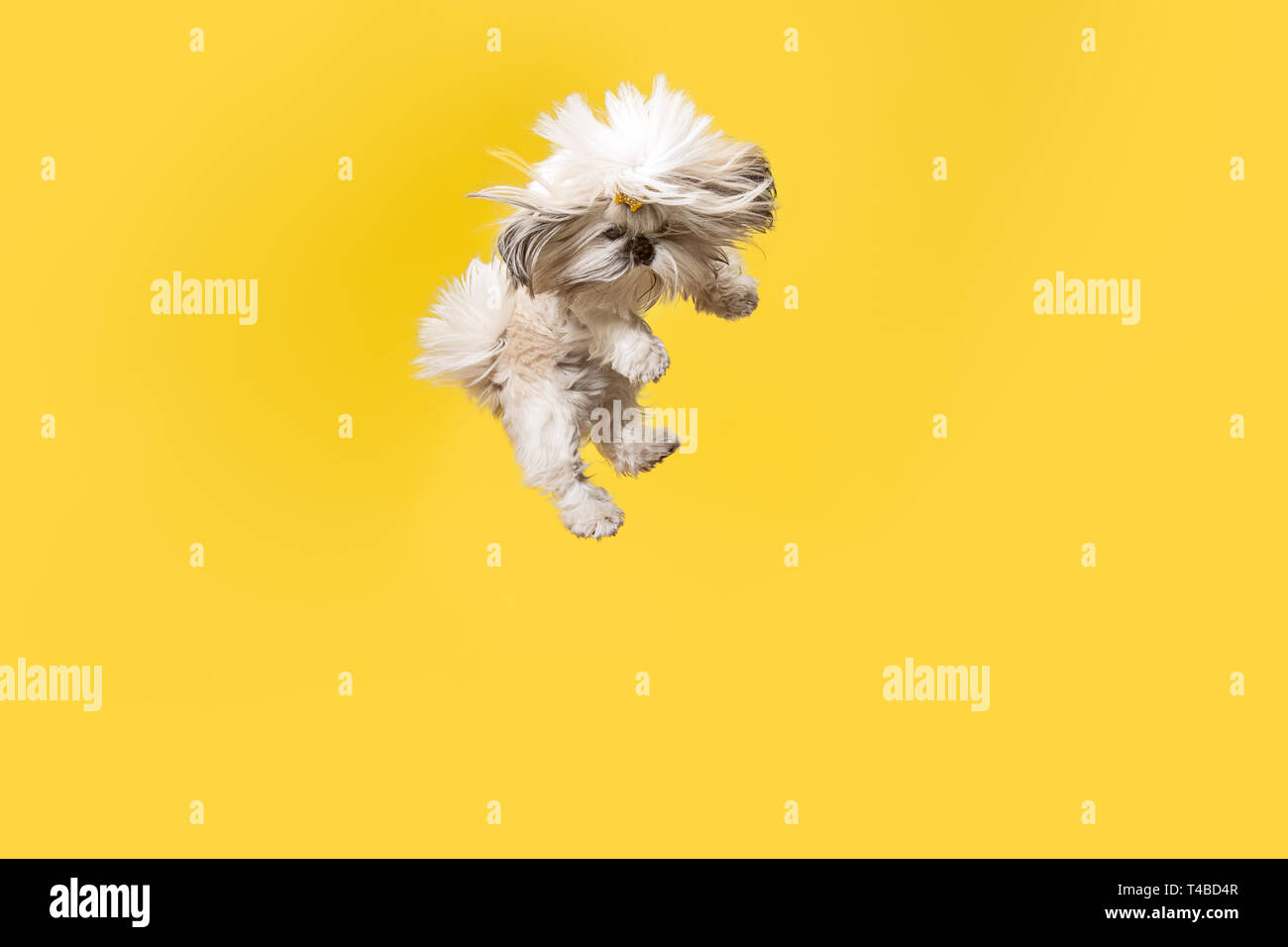 Shih Tzu Puppy Wearing Orange Bow Cute Doggy Or Pet Is Jumping Isolated On Yellow Background The Chrysanthemum Dog Negative Space To Insert Your Text Or Image Stock Photo Alamy