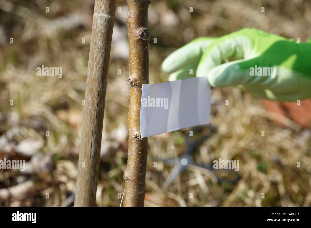 Gardener placing adhesive duct tape on tree trunk for ant protection. Insect protection, organic farming concept. - Stock Image