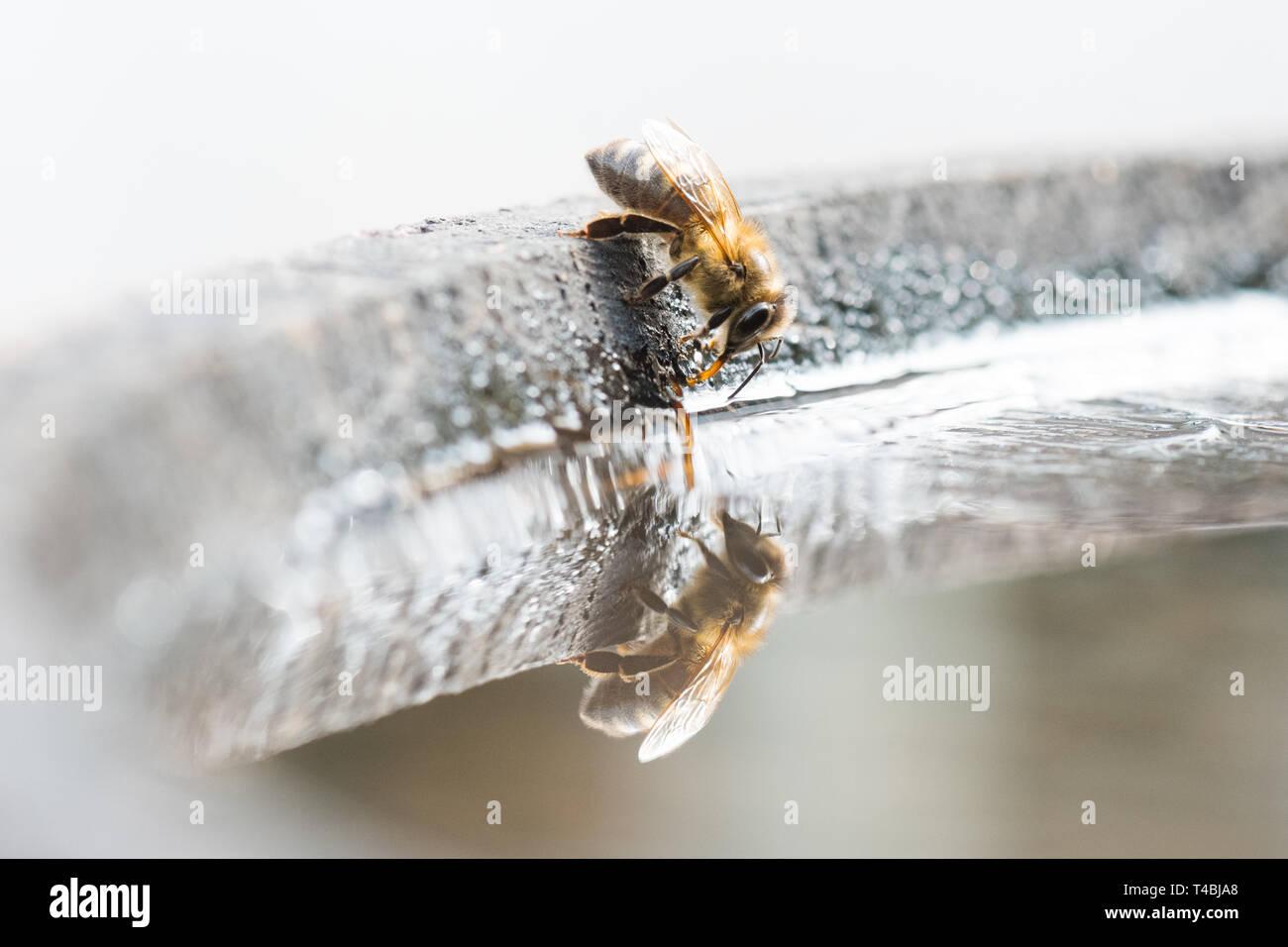 Honey Bee - Apis mellifera - drinking water from bird bath, UK Stock Photo