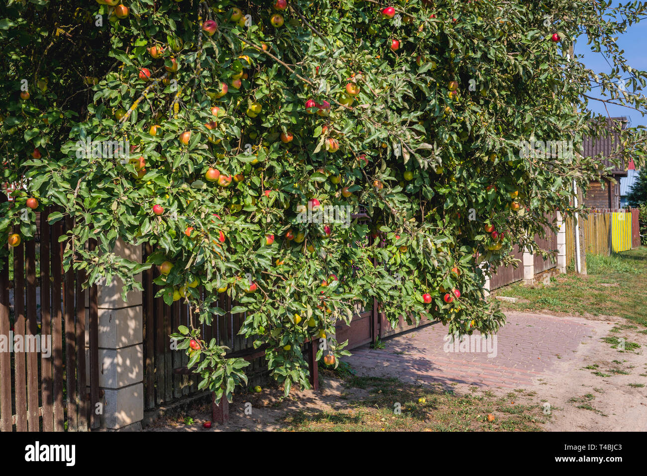 Apple tree in Soce village on so called The Land of Open Shutters trail, famous for traditional architecture in Podlaskie Voivodeship, Poland - Stock Image