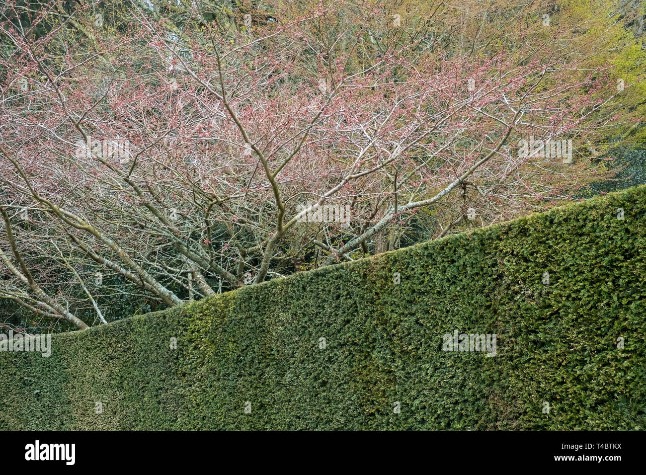 An example of clipped evergreen Yew hedging providing design and structure in a garden during winter and early spring months, April, England, UK - Stock Image