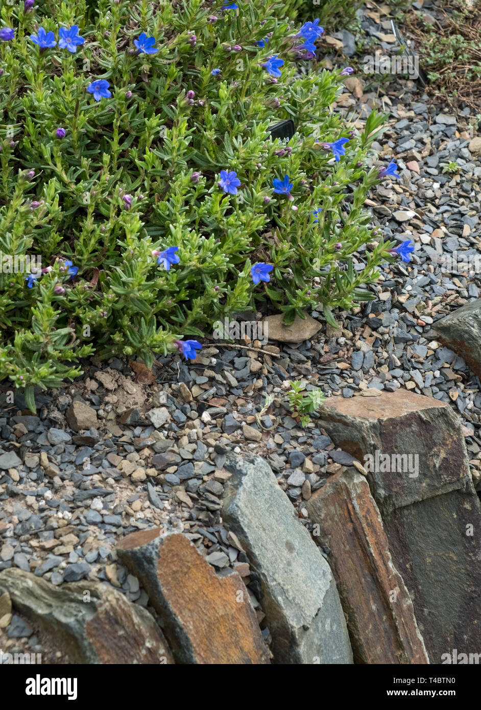 Lithodora Diffusa Heavenly Blue, a small prostrate evergreen shrub with vivid blue flowers growing on a garden wall, April, England, UK Stock Photo