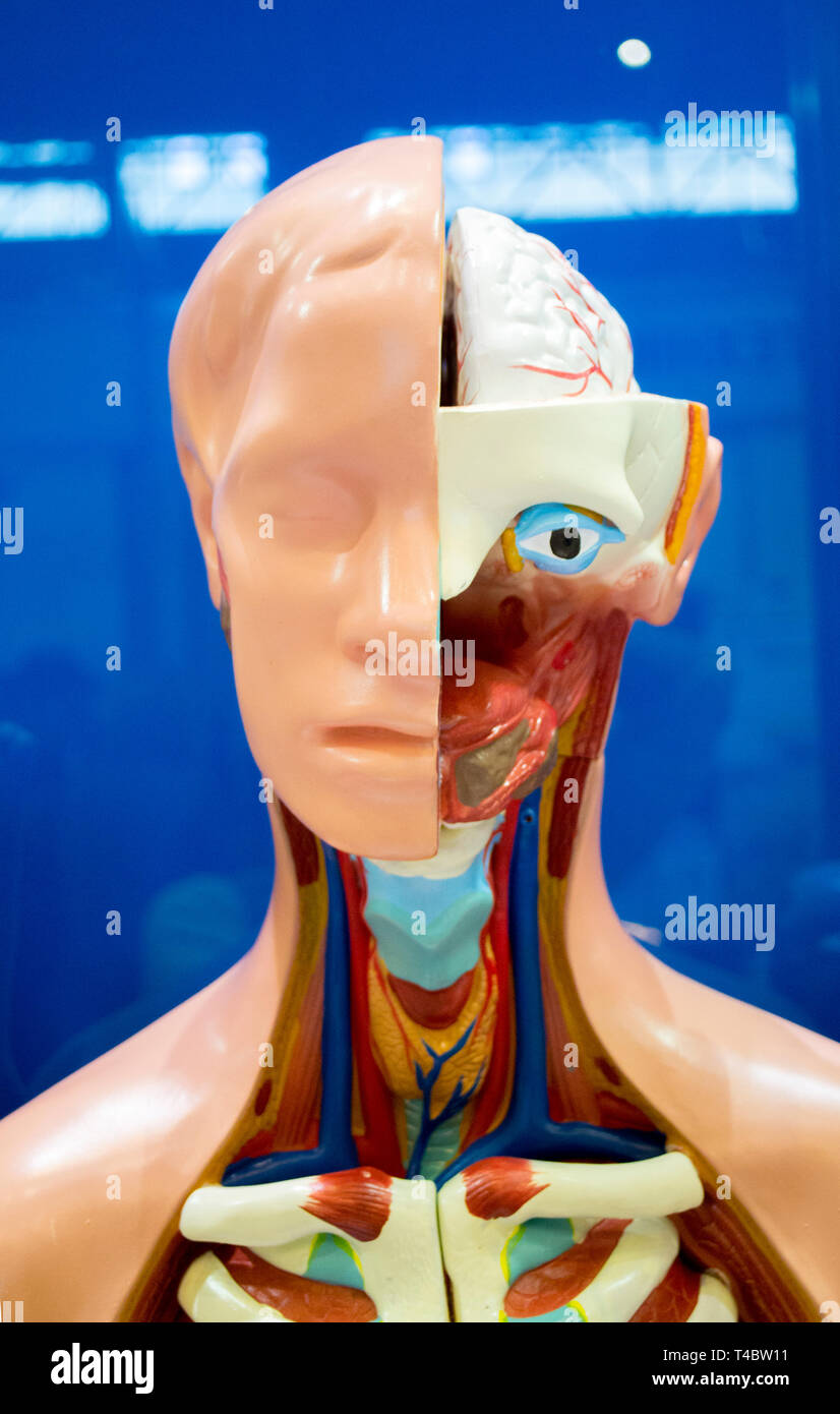 Human internal organs dummy, training dummy, detail of the face, thorax and intestines. Healthcare concept. Human anatomy - Stock Image