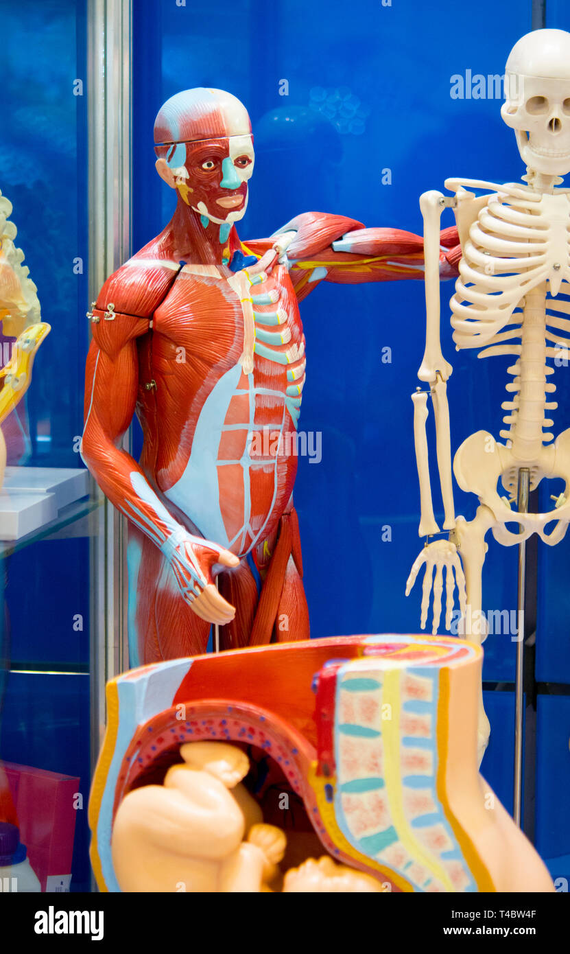 Human internal organs dummy, training dummy, detail of the uscular system. Healthcare concept. Human anatomy - Stock Image