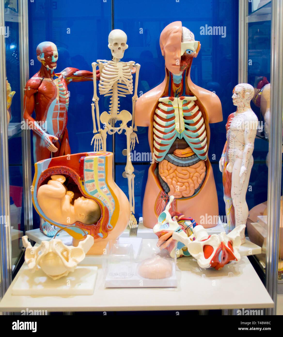 Set of medical training dummie of human internal organs. Human anatomy structure - Stock Image