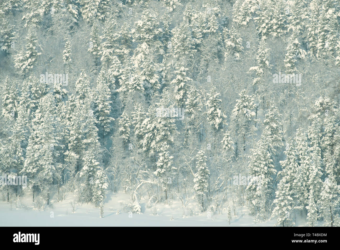 Corner of a polar snow-covered forest. Murmansk region, Russia - Stock Image