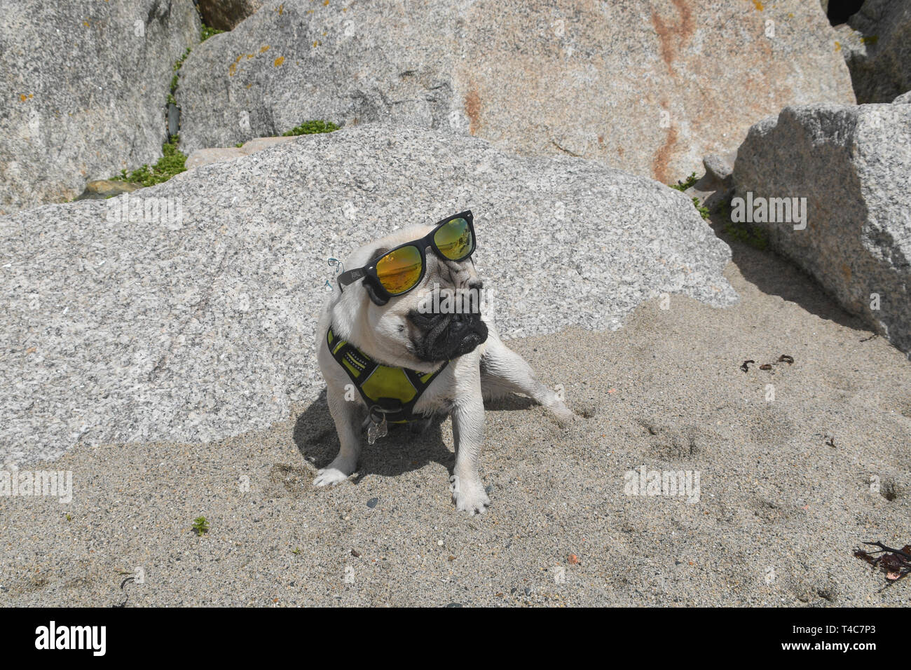 Longrock, Cornwall, UK. 16th Apr, 2019. UK Weather. Hot and sunny on the beach at Longrock, Cornwall for Titan the Pug's lunchtime walk. Credit: Simon Maycock/Alamy Live News Stock Photo