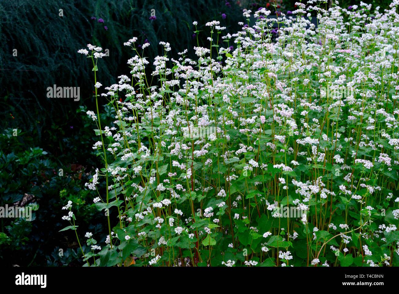 Echter Buchweizen, Polygonum fagopyrum Stock Photo