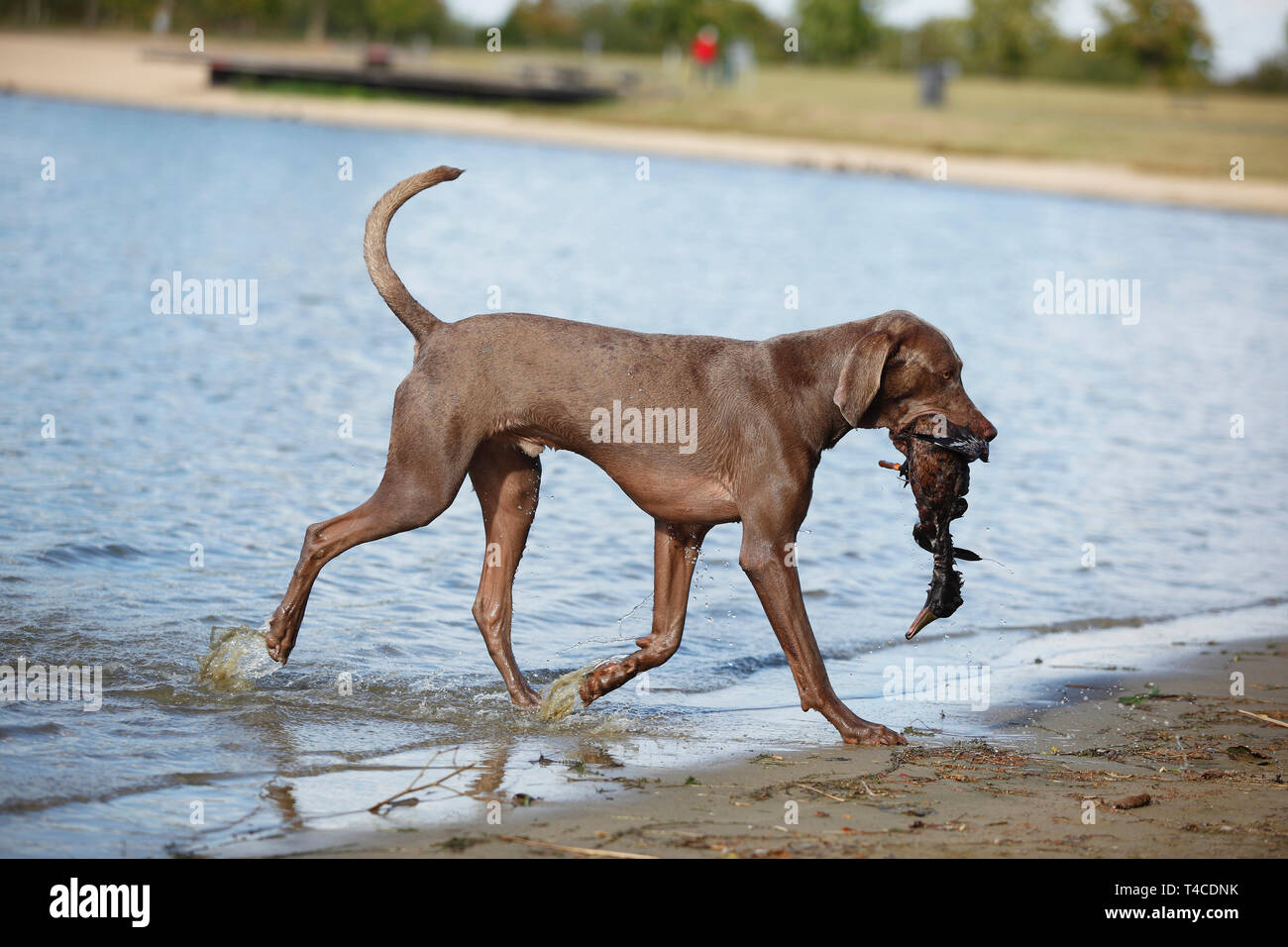 Weimaraner, male, retrieving duck - Stock Image