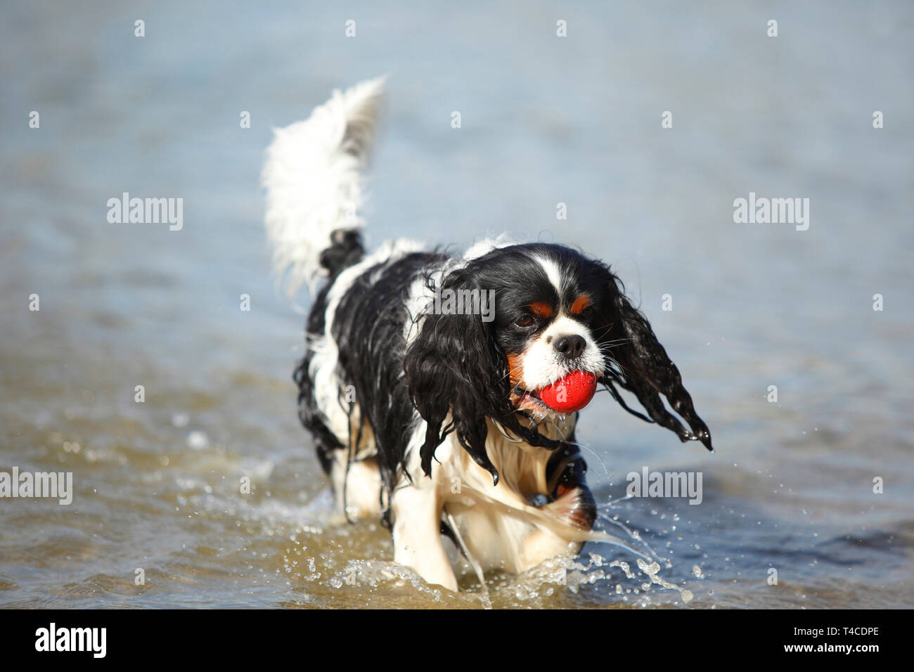 Cavalier King Charles Spaniel, male, tricolour, retriever ball - Stock Image
