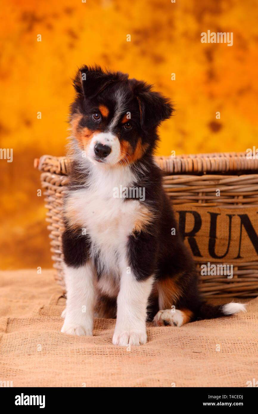 Australian Shepherd Puppy 8 Weeks Black Tri Stock Photo Alamy