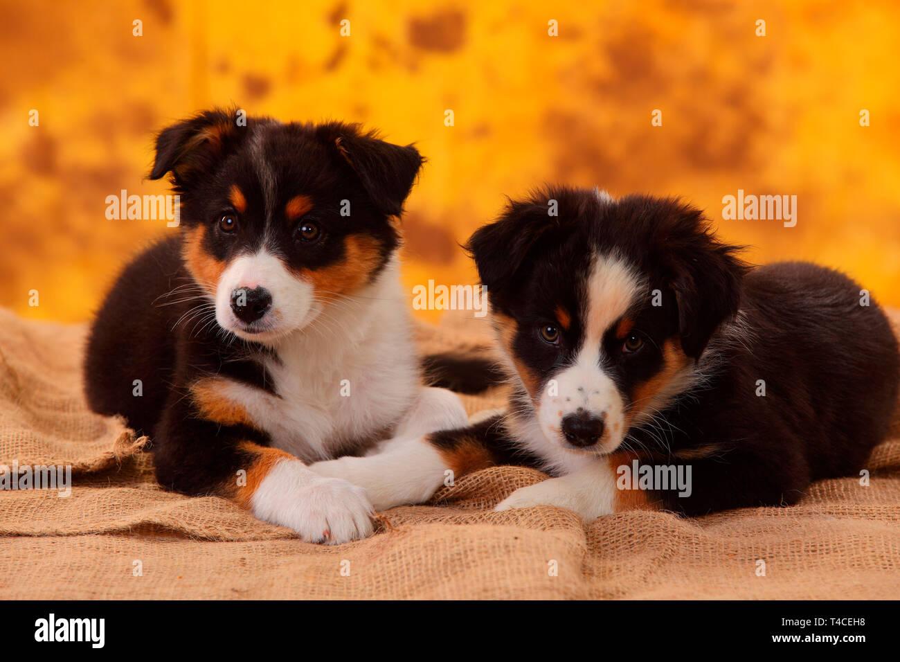 Australian Shepherd, puppy, 8 weeks, black tri Stock Photo