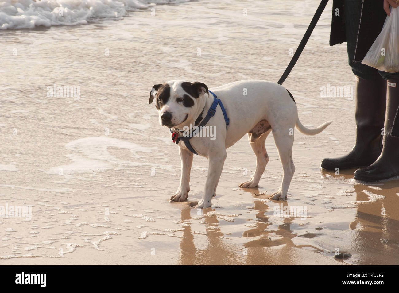 Dog in the sea - Stock Image