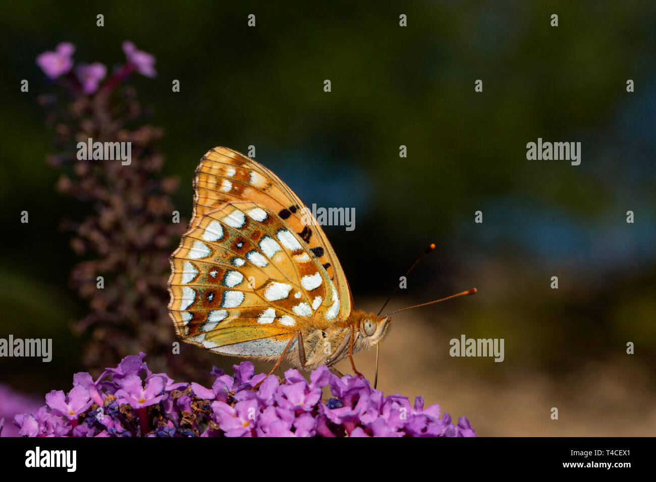 high brown fritillary, (Argynnis adippe) - Stock Image