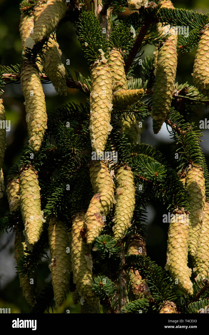 norway spruce, cones, (Picea abies) - Stock Image